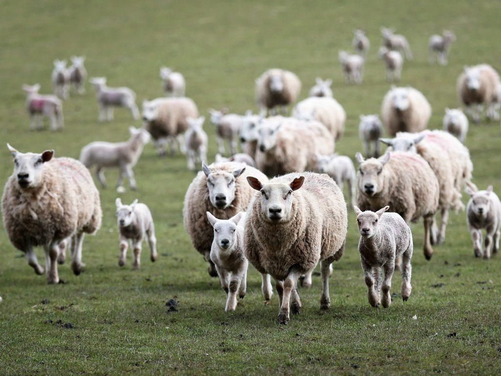 Aposte na cria o de ovelhas pode trazer bons resultados